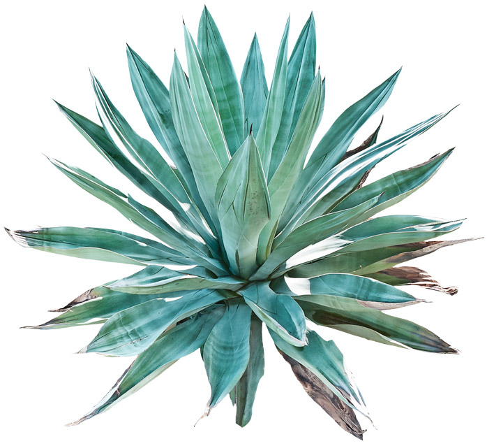 agave Tequilana Weber